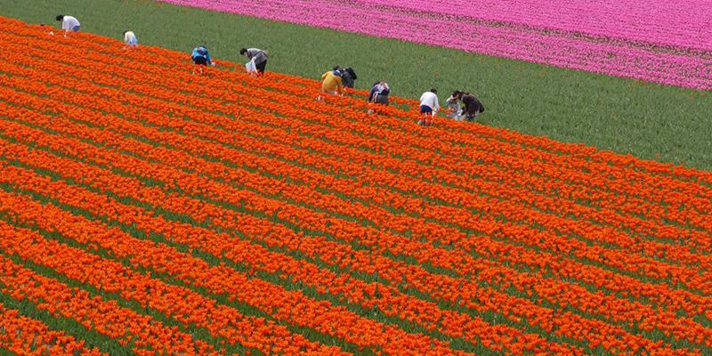 花摘みの様子